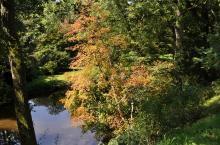 Acer circinatum, Arboretum Robert Lenoir
