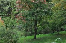 Acer diabolicum (Arboretum Robert Lenoir)